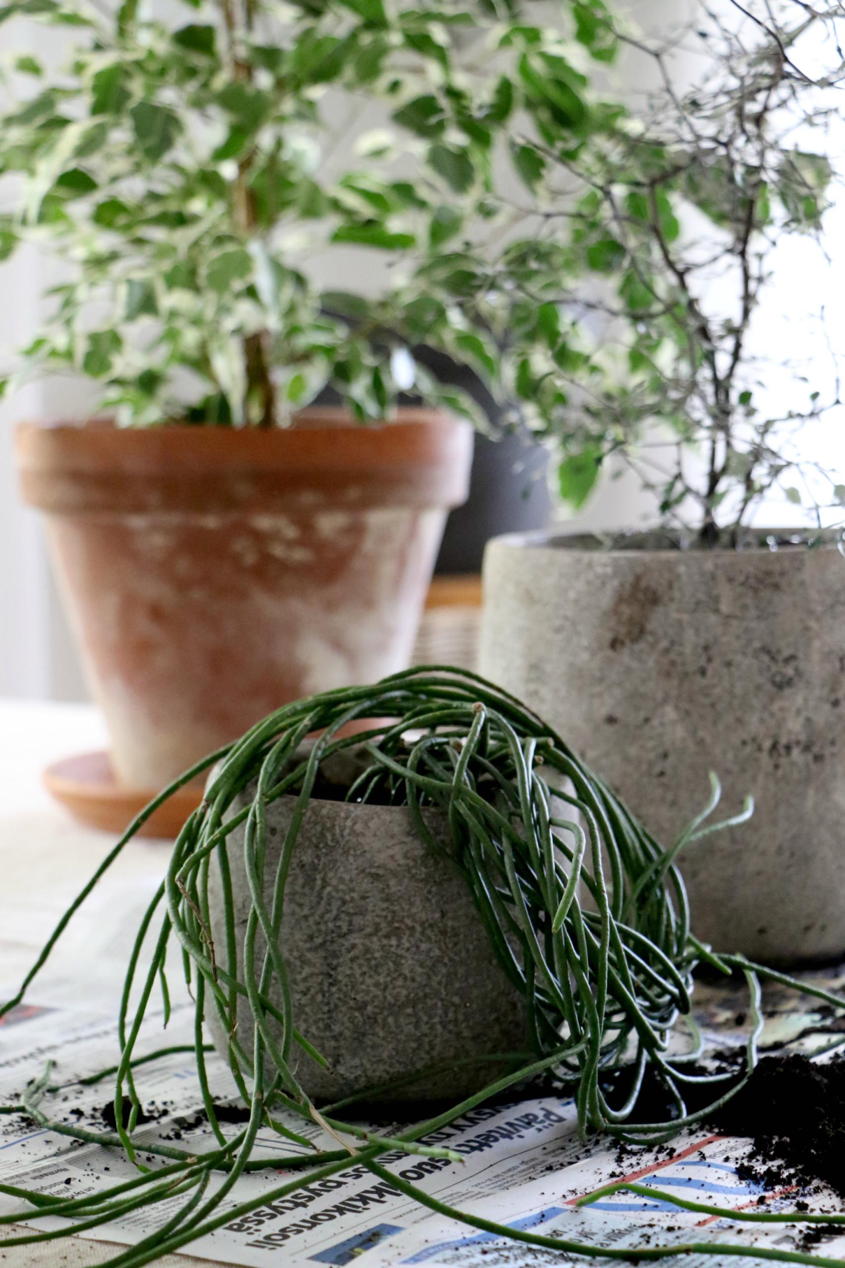Viherkasvien hoito: istuta kasvit oikein