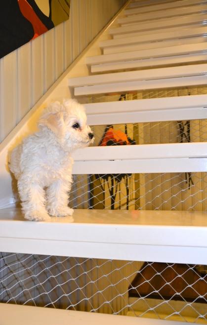 Portaat turvalliseksi koiranpennulle