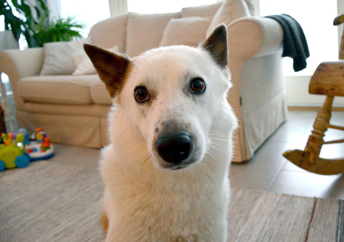 Väinö-koira
