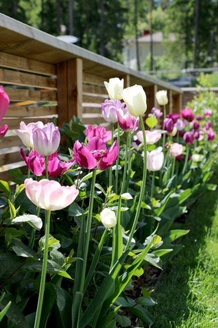 kesän tyylikkäimmät tulppaani-istutukset