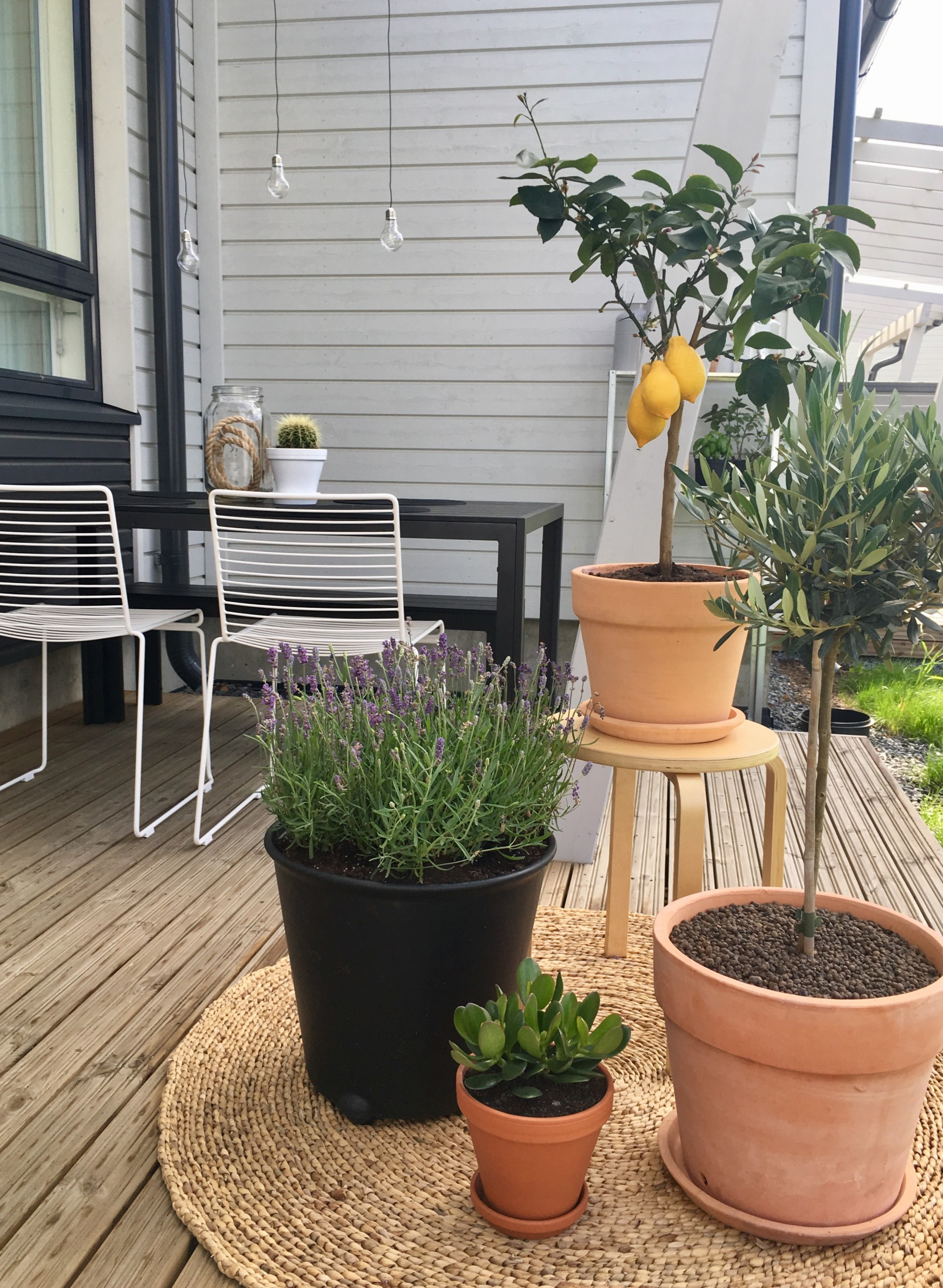 kaktus, laventeli ja oliivipuu